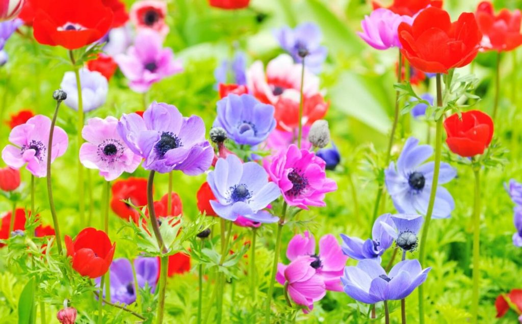 Ultimate Guide to Anemone Flowers (Meanings, Symbolism, and Origins)