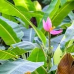Ultimate Guide to Banana Plant (Musa) Care & Growing Tips at Home