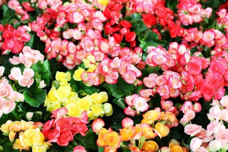 Ultimate Guide to Begonia Flower Meaning, Symbolism, History and Origins