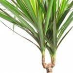 Ultimate Guide to Dragon Trees (Dracaena Marginata)