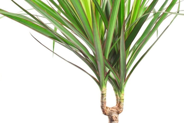 Ultimate Guide to Dragon Trees (Dracaena Marginata)