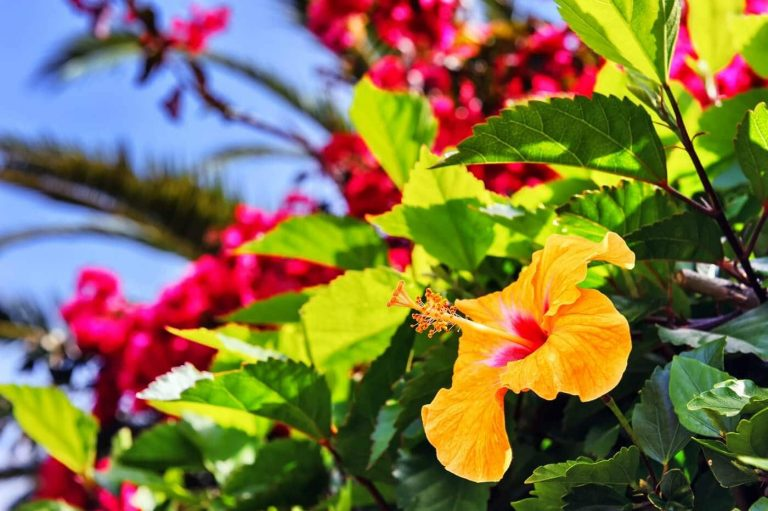 Ultimate Guide to Hibiscus Flower Meaning, Symbolism, History, Origins, Botanical Characteristics