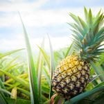 Ultimate Guide to Pineapple Plants (Ananas comosus)