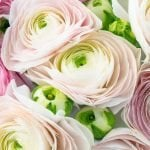 Ultimate guide to Ranunculus Flower Meaning