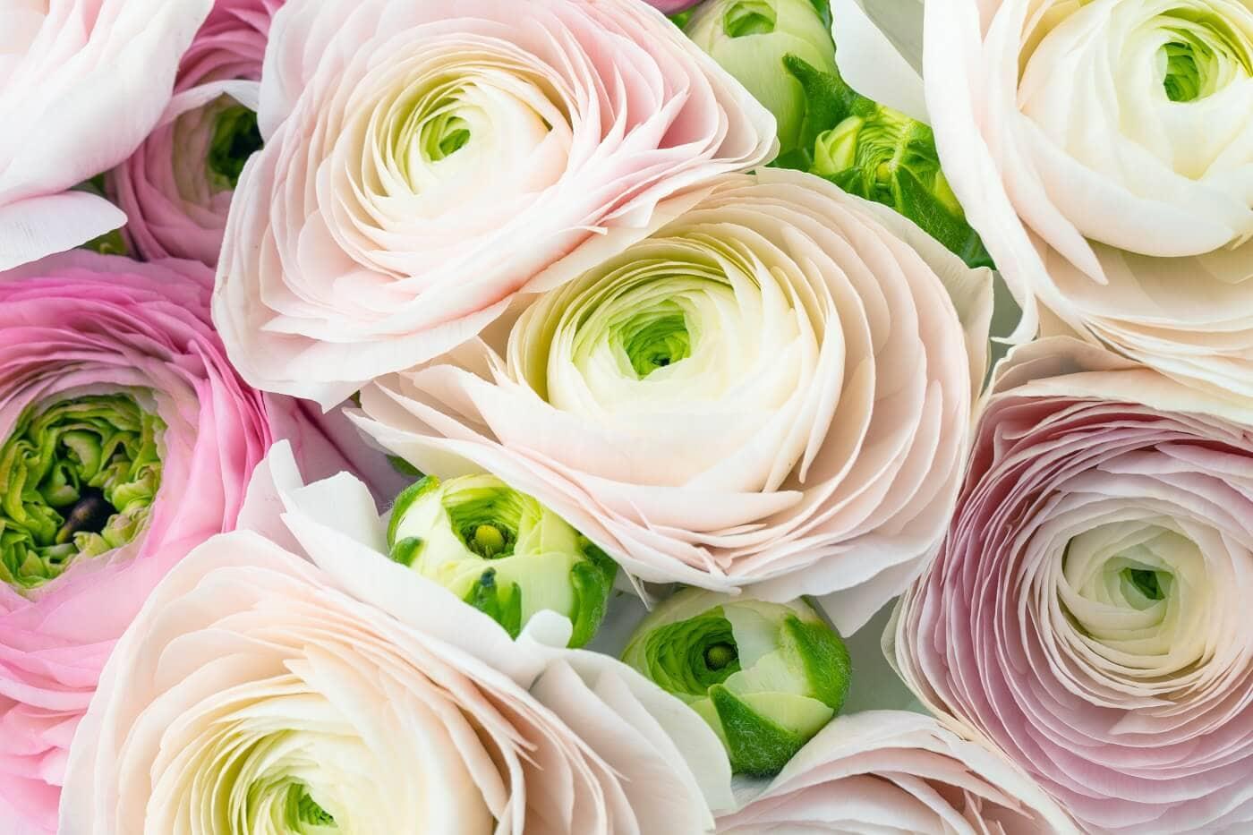 Ultimate Guide To Ranunculus Flower Meaning Origins Varieties Petal Republic