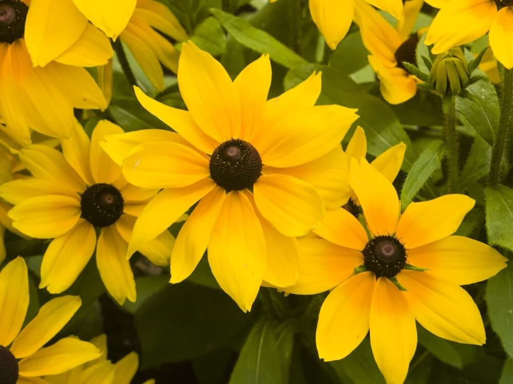 Uses and Benefits of Black-Eyed Susan Flowers