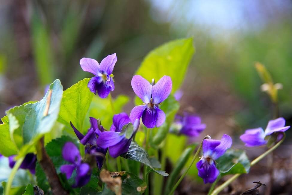 Violet Wildflowers Official Birth Flower for February