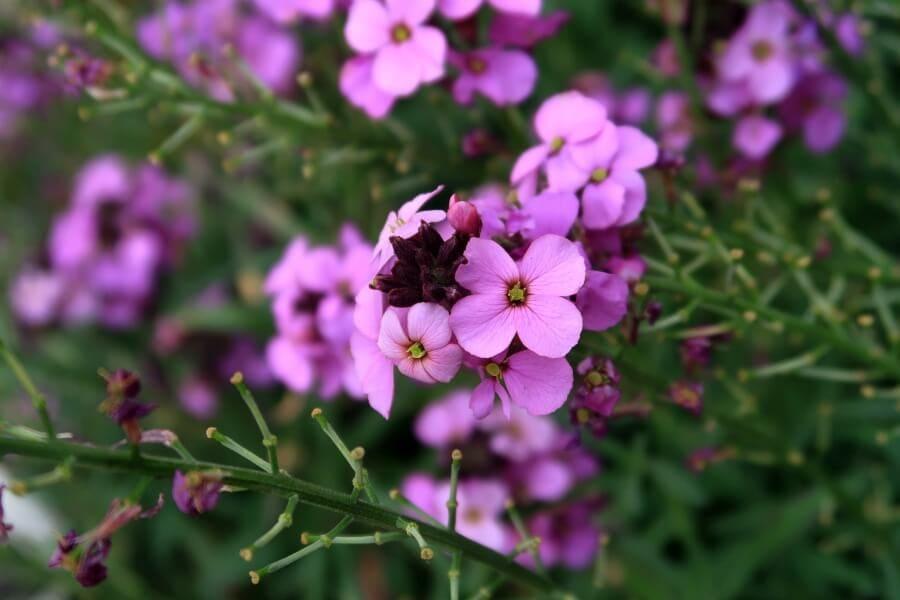 Wallflowers (Erysimum 'Bowles's Mauve')