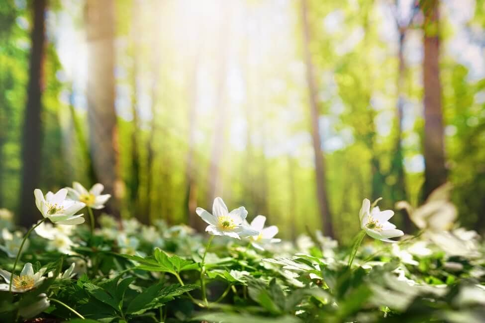 What Does the Anemone Flower Symbolize
