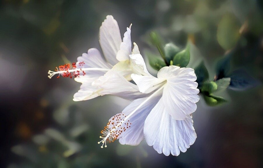 Whie Hibiscus Flower Meaning