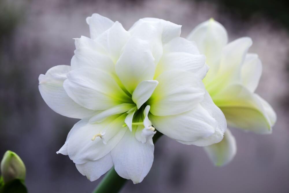 White Amaryllis Flower Meaning