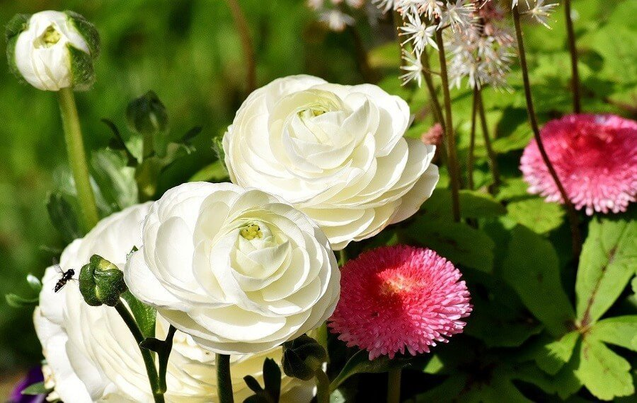 White Ranunculus Flower Meaning