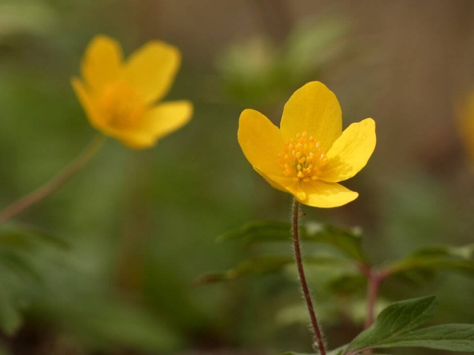 Yellow Anemone Flower Meaning