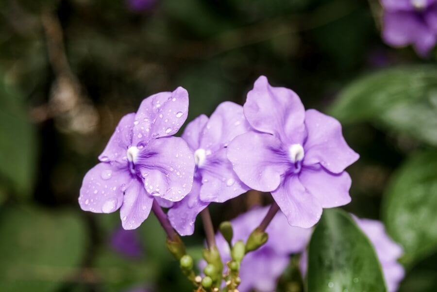 Yesterday Today Tomorrow (Brunfelsia pauciflora)