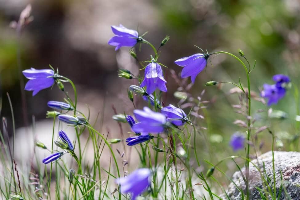 About Bluebells (Hyacinthoides non-scripta)