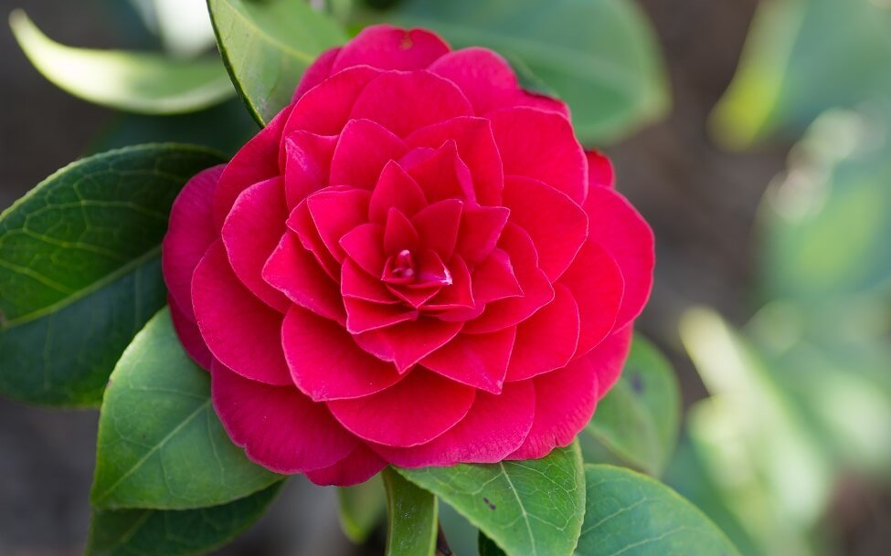 About Camellia Flowers