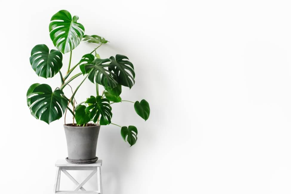 About Monstera Plants
