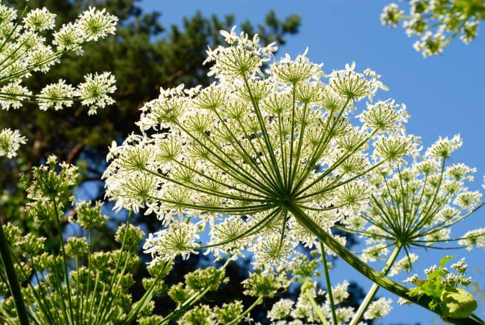 About The Angelica Flower
