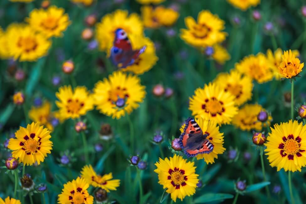 About The Coreopsis Flower