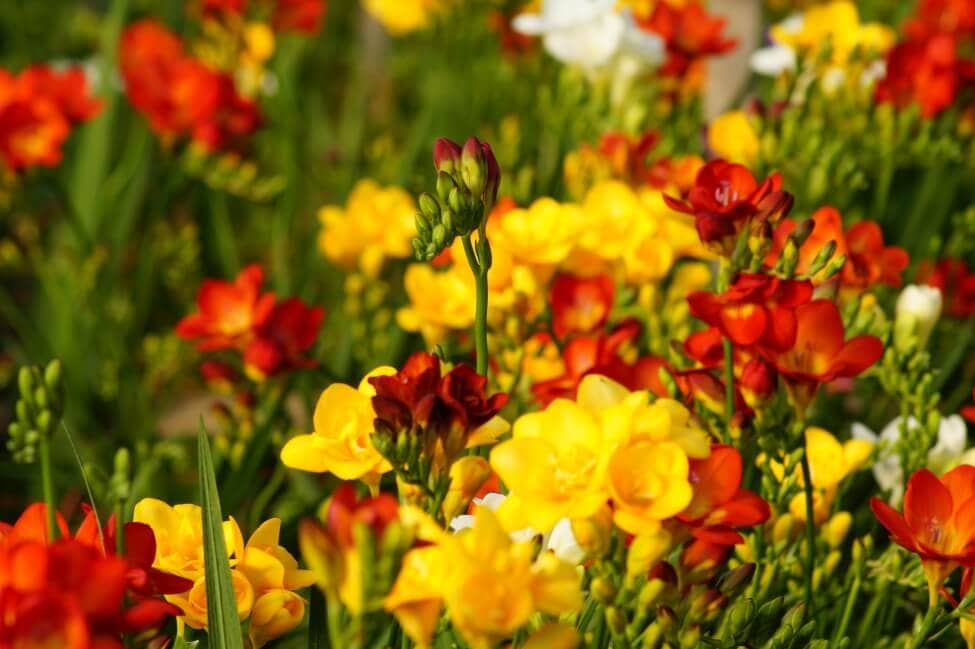 About The Freesia Flower