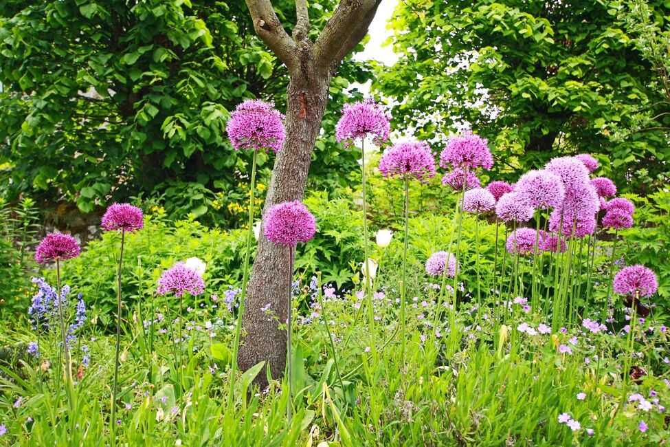 About the Allium Flower