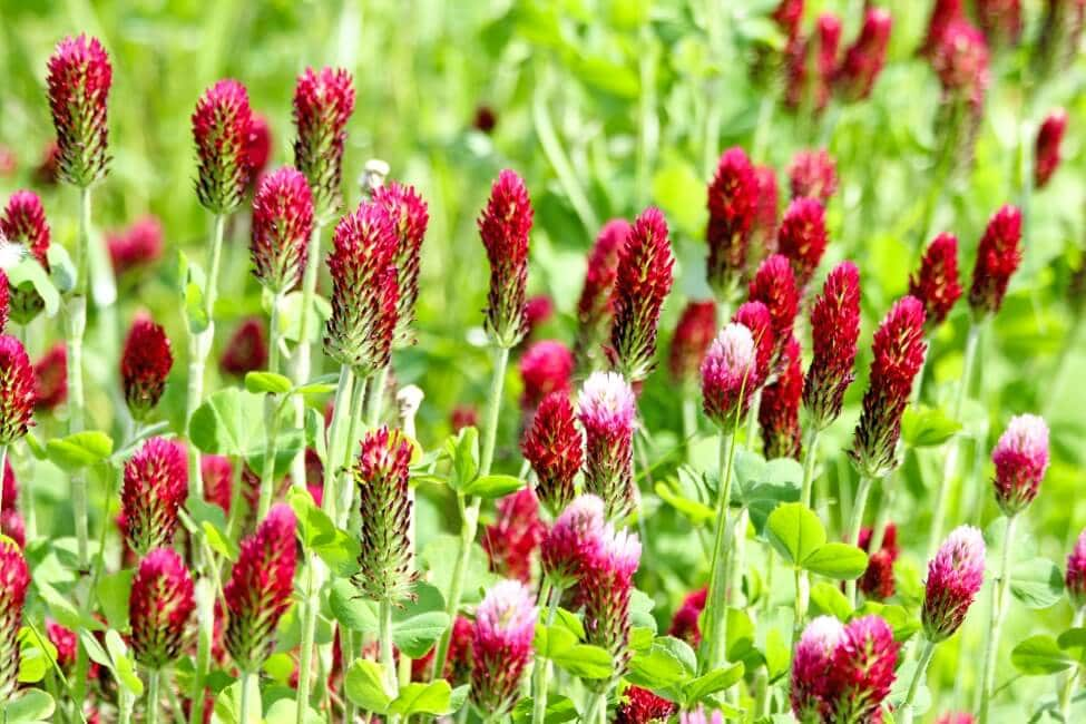 About the Clover Flower