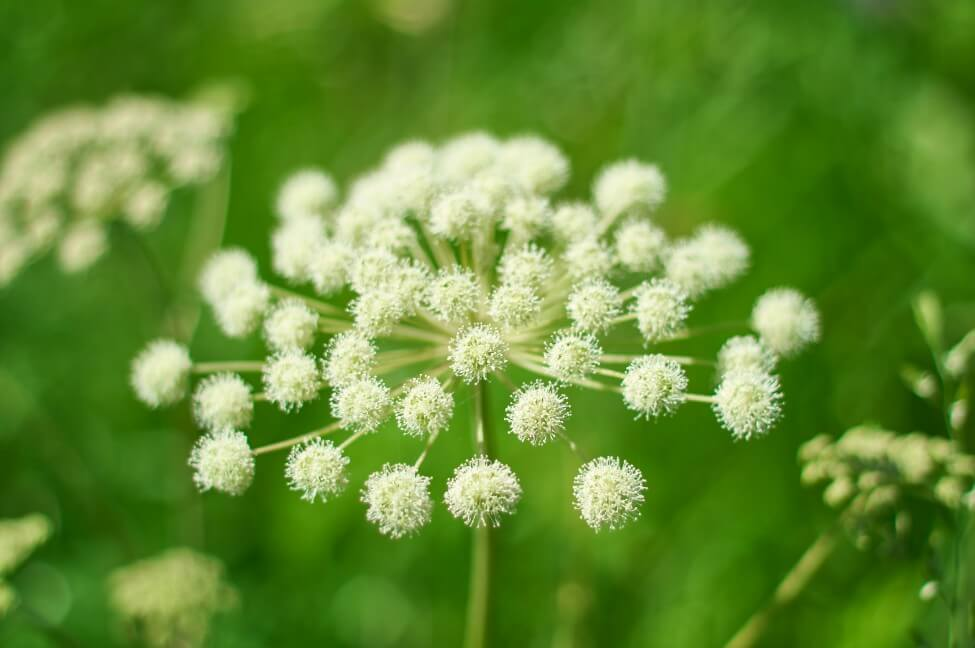Angelica Flower Meaning & Symbolism