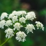 Angelica Flower Meaning, Types, and Growing Tips