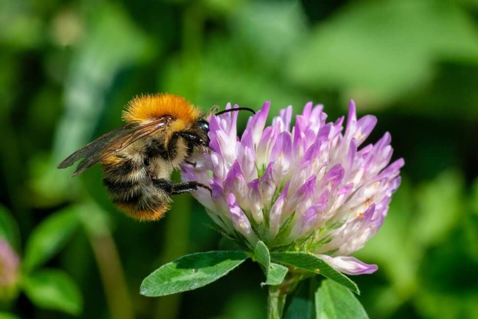 Bees Love Clovers Too!