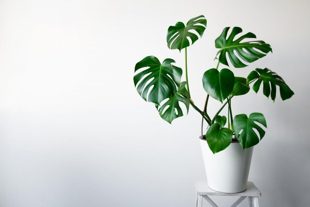 Best Monstera Plants to Grow at Home