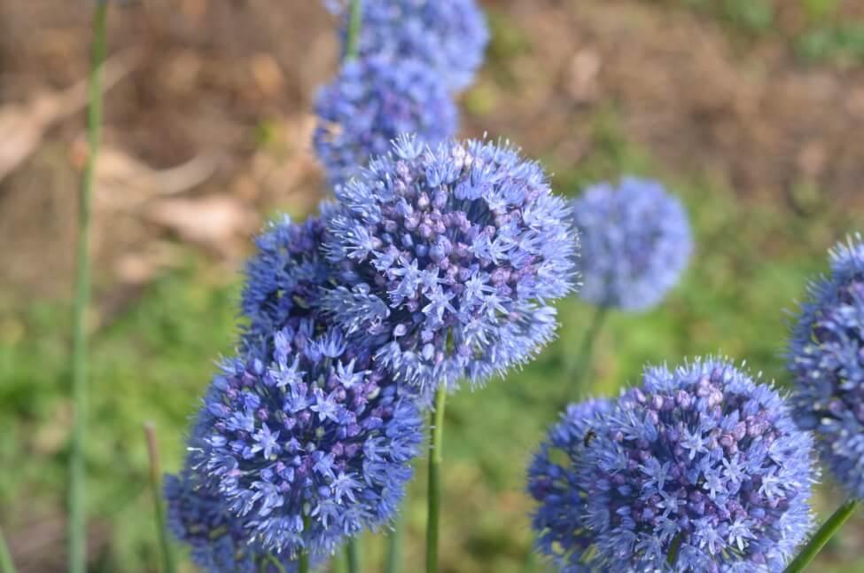 Blue Allium Flower Meaning