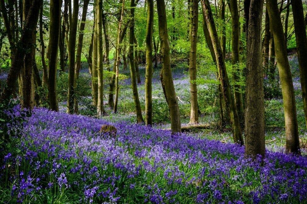 Do symbolize what bluebells Bluebell (Hyacinthoides