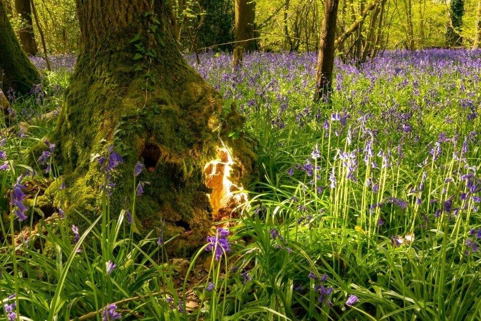Bluebells & Fairies