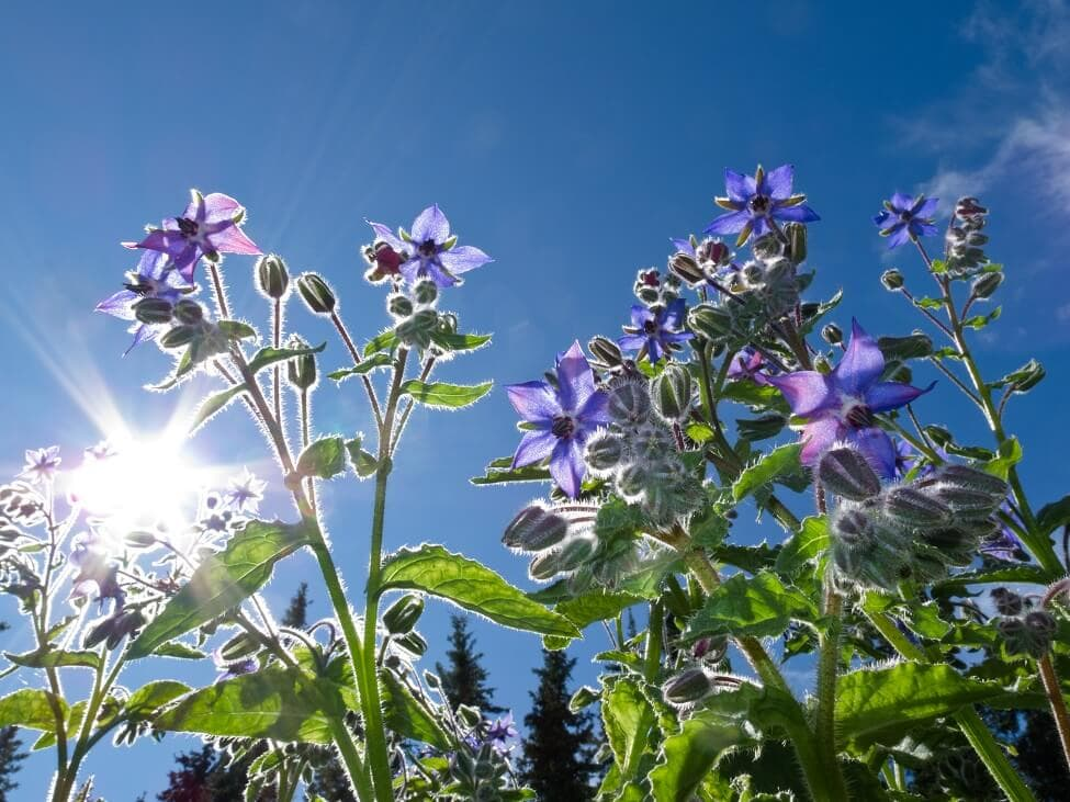 Borage Flower Meaning and Symbolism