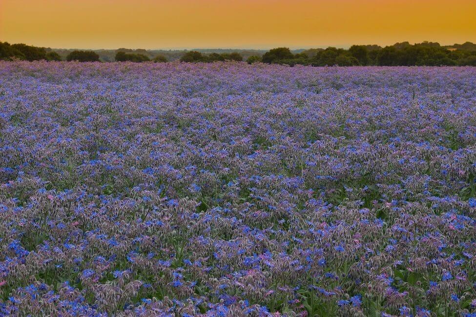 Borage Flower Native Range and Season
