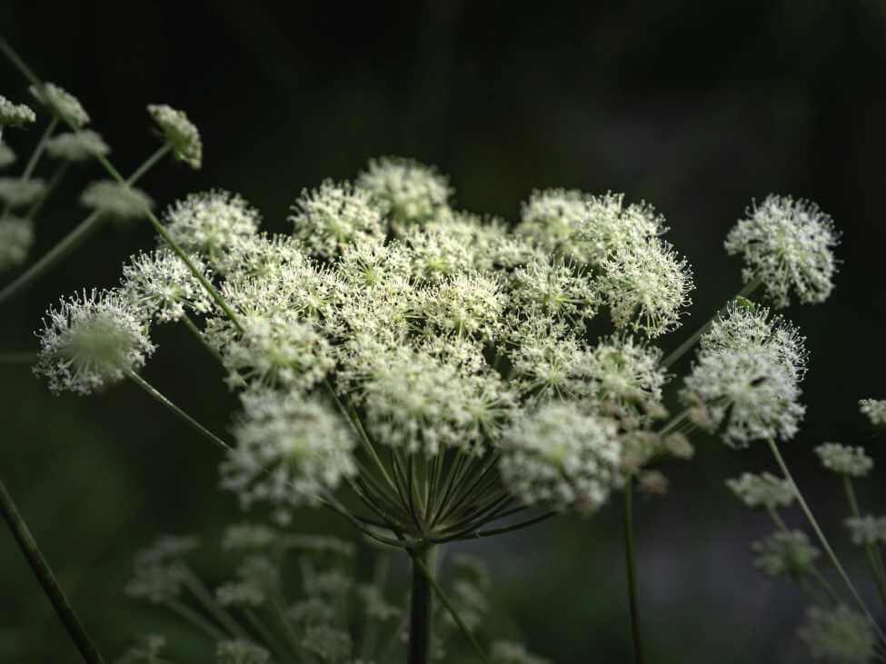 Botanical Characteristics, Colors, and Fragrances