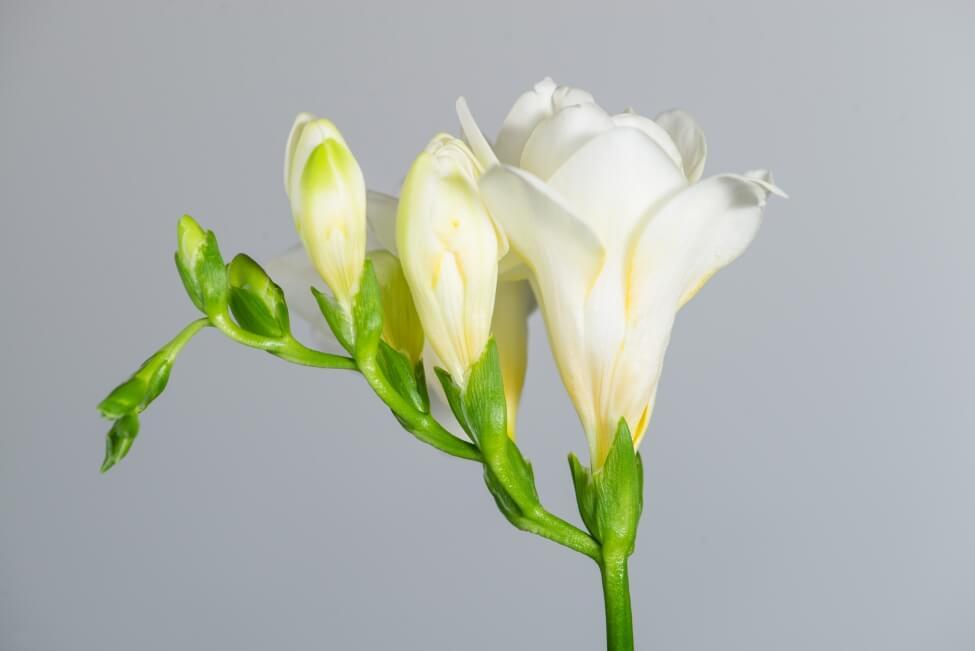 Botanical Characteristics and Colors