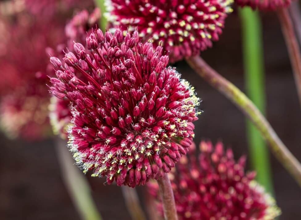Burgundy Red Allium Flower Meaning