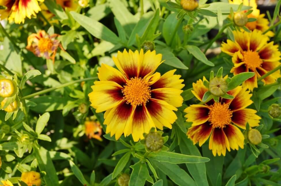 C. tinctoria cultivars and varieties include