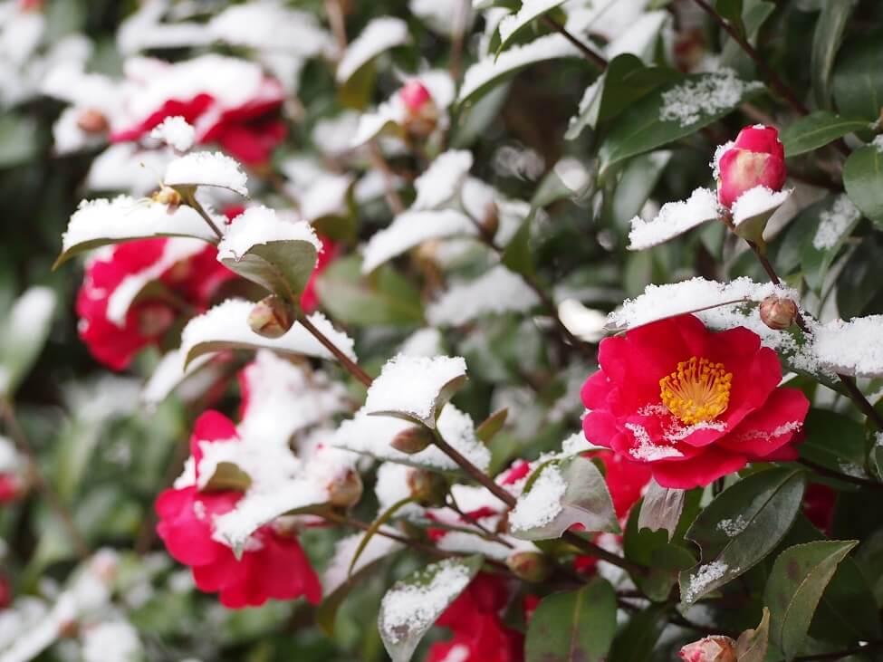 Camellia Flower Growing Seasons