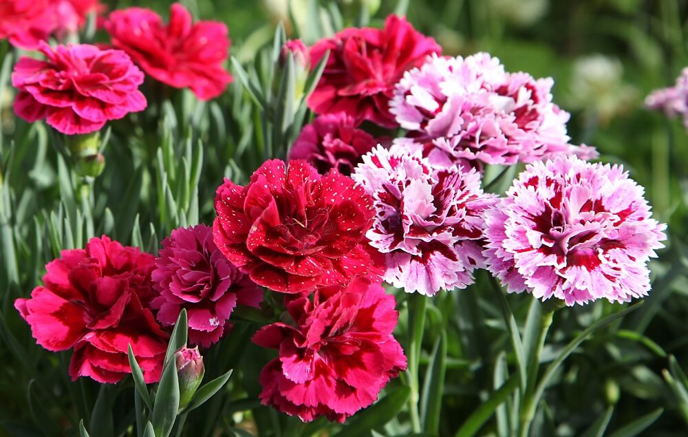 Carnations for International Women's Day