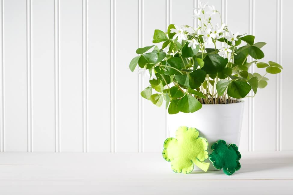 Considerations For Growing Clover Flowers Indoors