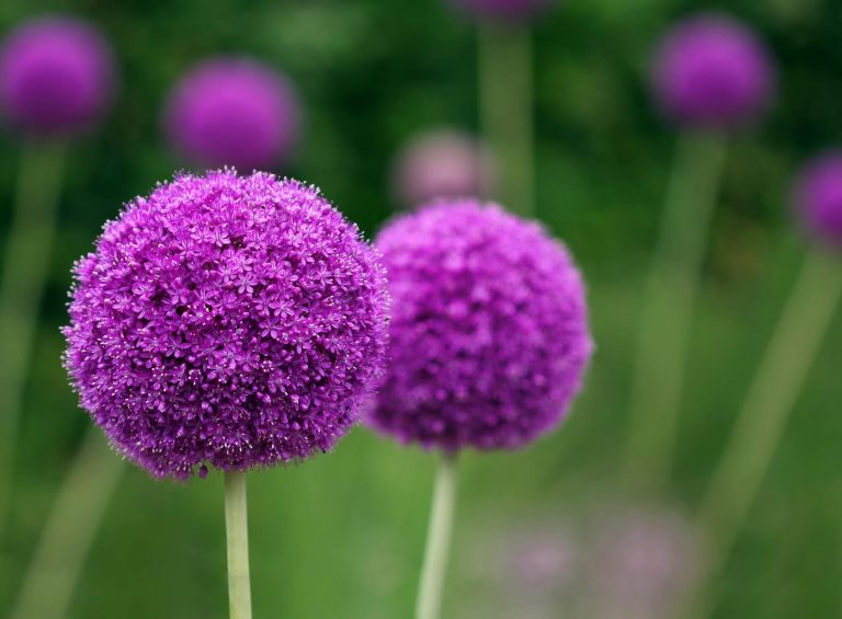 Everything You Need to Know About Allium Flowers