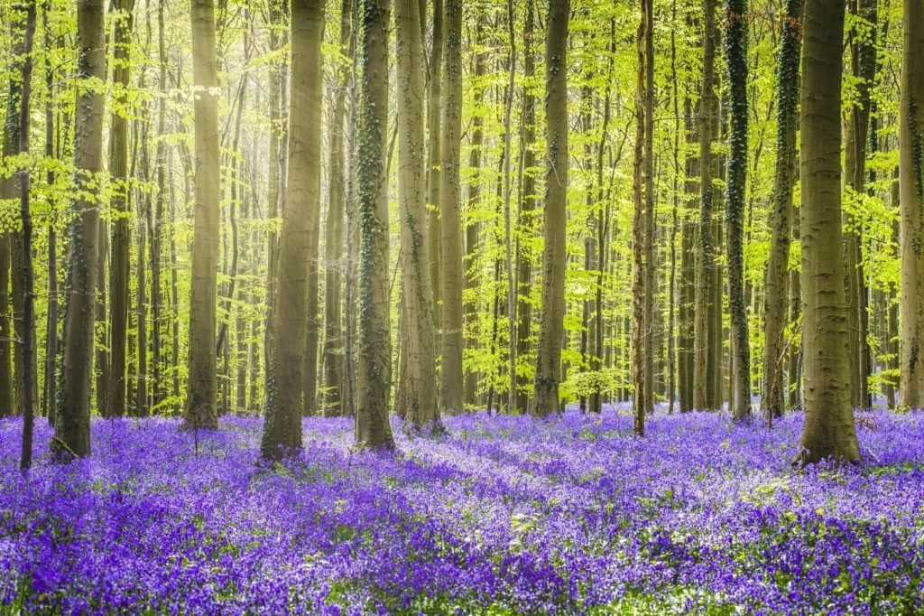 Everything You Need to Know About Bluebells (Hyacinthoides non-scripta)