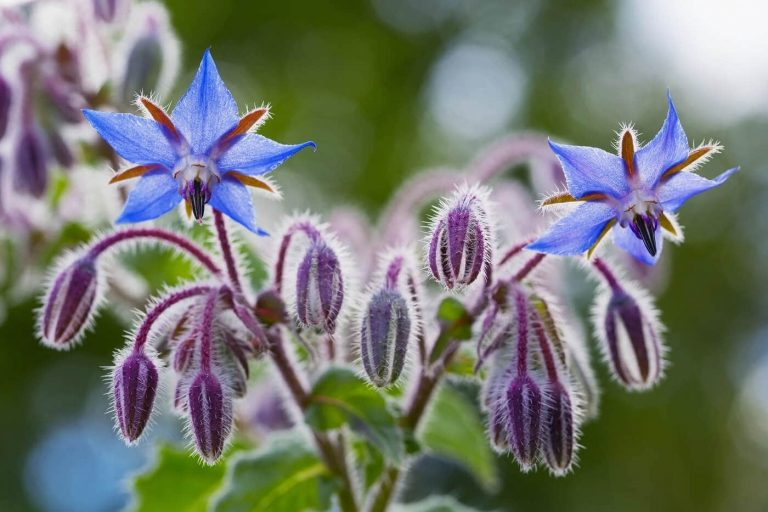 Everything You Need to Know About Borage Flowers
