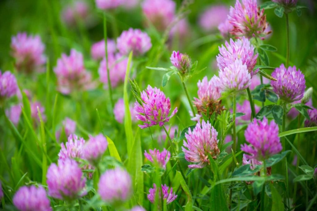 Everything You Need to Know About Clover Flowers (Trifolium)