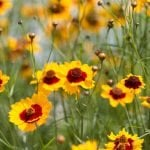 Everything You Need to Know About Coreopsis Flowers
