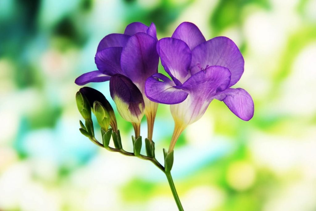 Everything You Need to Know About Freesia Flowers
