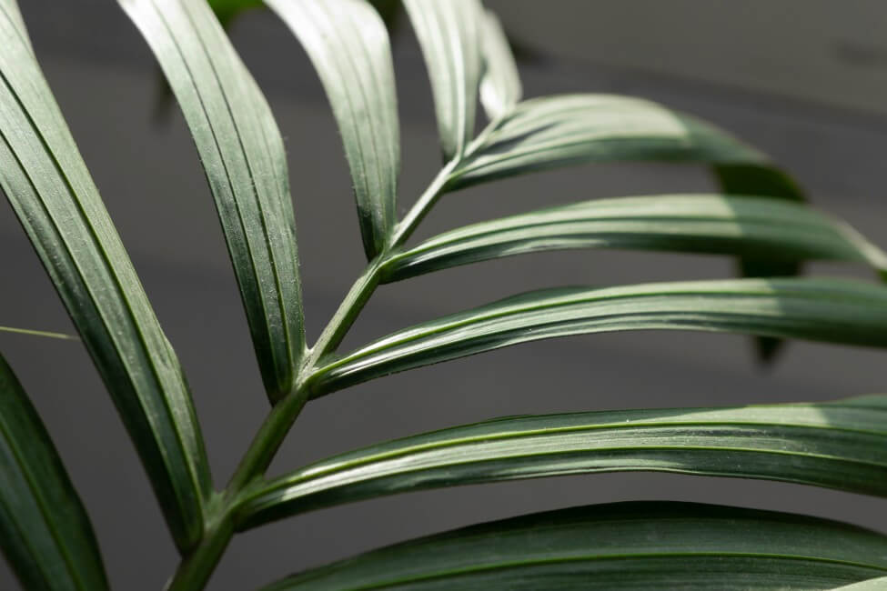 How to Care for Kentia Palms at Home