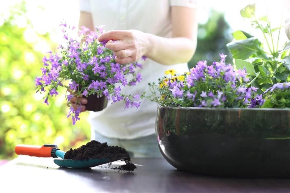 How to Grow Bluebell Flowers at Home